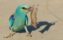 Negyedszer is hazatért Dél-Afrikából a jeladós szalakóta