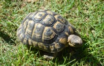Teknősöket találtak egy román furgonban a zalai pénzügyőrök