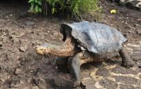 Nyugdíjba vonul Diego, a faját megmentő galápagosi óriásteknős