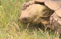 Nincs chip a hétvégén megtalált görög teknősben
