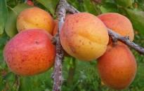 Három éve gyenge a gyümölcstermés