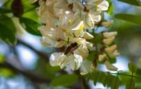 Méhészeti egyesület: az elmúlt ötven év legrosszabb akácméztermése várható