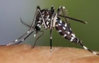 A lakosság segítségét kérik a tigrisszúnyogok felmérésében