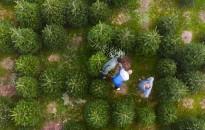 73 ezer forint jár majd hektáronként a karácsonyfa területek után