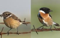 A cigánycsuk nyerte a 2021 év madara szavazást