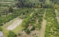 Bajban a fenyőfát termesztők
