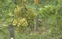 Magyar szőlő a piacokon