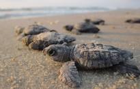 Veszélyes mennyiségű műanyagot esznek meg a frissen kikelt tengeri teknősök