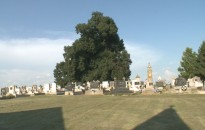 700 éves hársfa ad árnyat a szőkedencsi temetőben