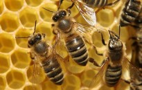 Évi 4,7 millió euró támogatáshoz jut a magyar méhészeti ágazat