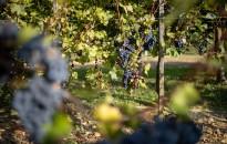 Zajlik a szüret, elkezdődött a borok készítése