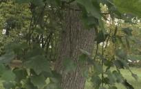 Több fa is védelemre szorulna a Nagykanizsa