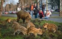 Városi vadvilág alkalmazkodott az ember életmódjához
