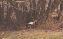 Néhány gólya itthon telel