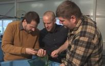 Szürkeharcsák genetikai kutatása