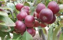 Ukrajnában telepít magyar gyümölcsfajtákat az MKSZN