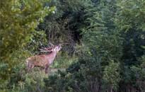 Szarvasbőgés a Nagykanizsai Erdészet területén