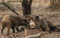Afrikai sertéspestist mutatott ki vaddisznóban a Nébih