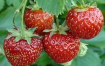 FruitVeB: az idén kedvezőbb lesz a szamócatermés
