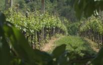 Növényvédelmi zárlat van érvényben több Kanizsa környéki szőlőhegyen