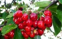 Agrárkamara: elkezdődött a cseresznyeszezon