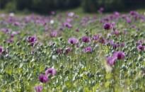 Virágzik a mák Zala megyében