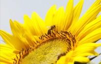 Virágzik a napraforgó Szőkedencsen