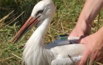 Egy gólya révén hatalmas telefonszámlát kapott egy lengyel alapítvány