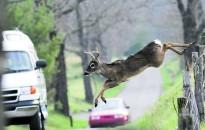 Nő a balesetveszély az utakon az őzek párzási időszakában