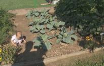 Folytatódott a kanizsai kertek szemléje