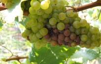 Jó a szőlőtermés a korábban kezdődő szüret előtt