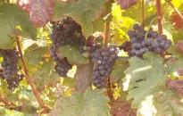 Beértek a csemegeszőlők, Kanizsa térségben is korábban kezdődhet a szüret