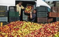 FruitVeb: várhatóan 700-750 ezer tonna alma terem idén