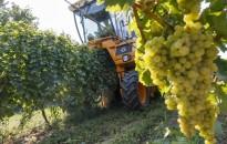 Az idén 450 ezer tonna szőlőtermés várható