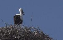 Elégedettek a szakemberek a gólyák idei zalai szaporulatával