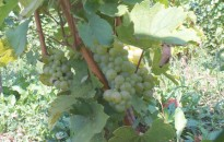 Ígéretes az idei szőlő termés