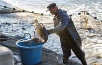 Beolvasztanák a halgazdálkodási cégbe a Balatoni Halászati Zrt.-t