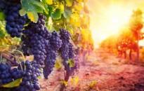 Rekord szőlő- és bortermésre számít az Agrárminisztérium idén