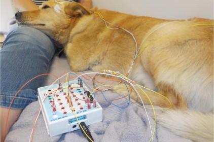Az alvó kutyák agyának működése hasonlít az emberéhez