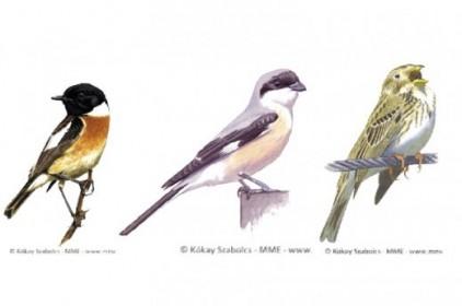 Mi legyen 2021 év madara: cigánycsuk, kis őrgébics, sordély?